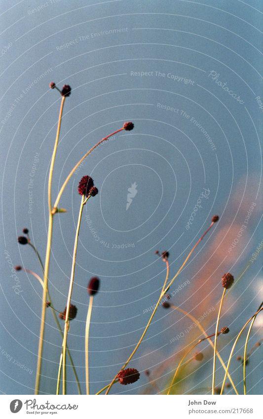 nature's minimalism Natur Himmel Pflanze Sommer ruhig Wiese Blüte Gras Zufriedenheit Ordnung ästhetisch Wachstum einzigartig natürlich analog