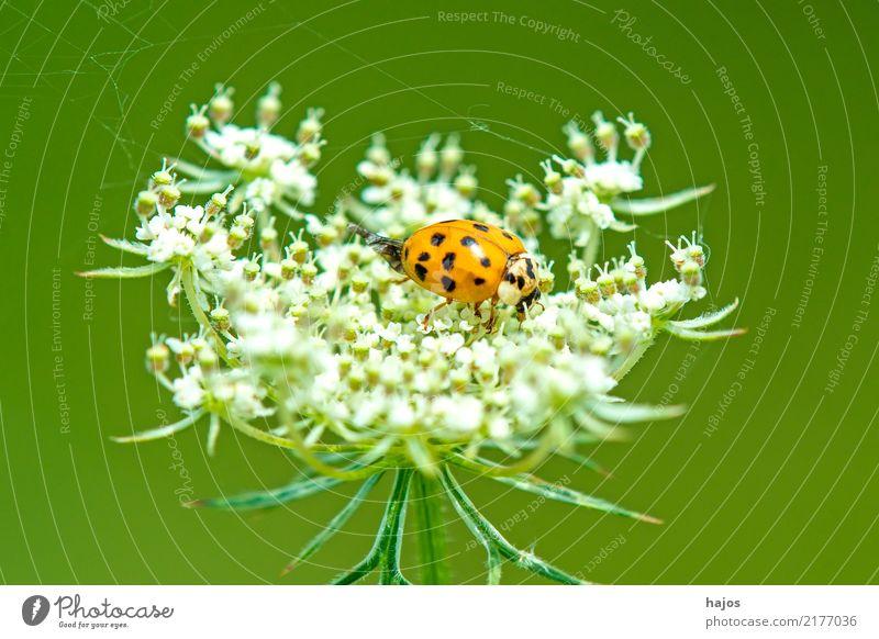 Marienkäfer auf wilder Karotte Tier Blüte Wildtier Käfer Freundlichkeit schwarz weiß Nützling Insekt gepunktet Deutschland Möhre heimisch häufig