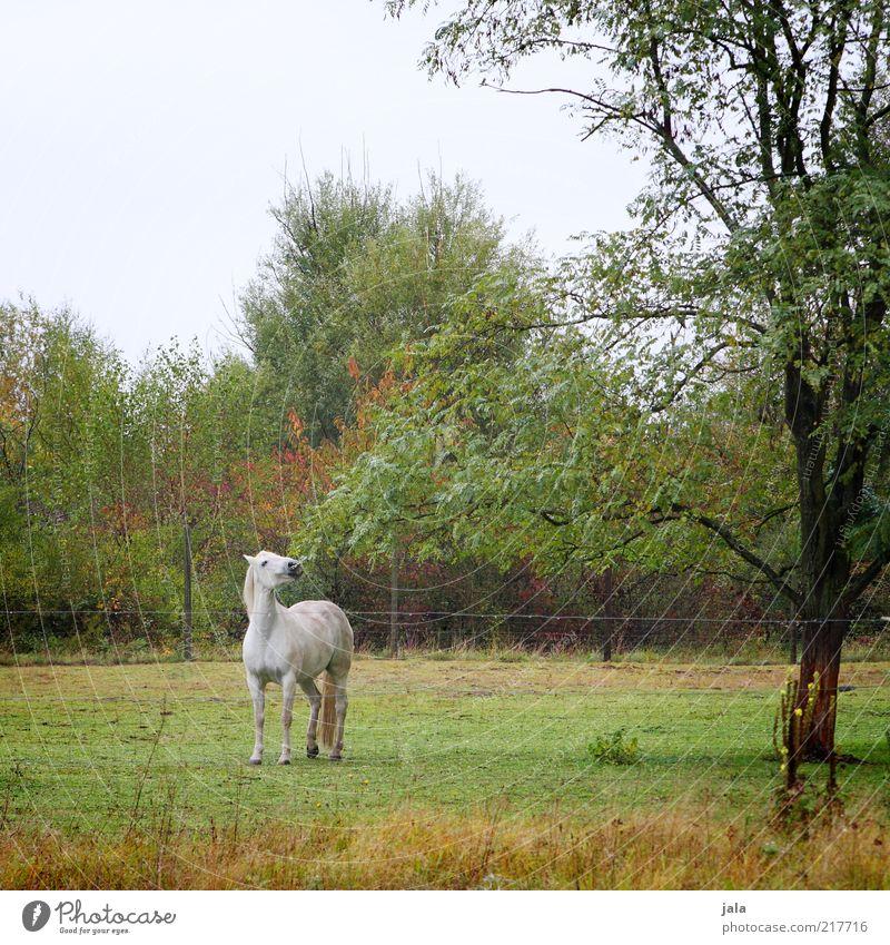 julius herbst Natur Himmel Pflanze Baum Gras Sträucher Tier Nutztier Pferd 1 Bewegung Schimmel Weide Fressen auslaufen weiß grün Herbst herbstlich Farbfoto
