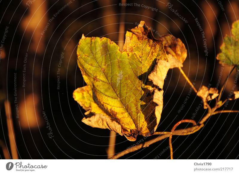 Auf-Bäumen Natur schön alt grün Pflanze Blatt Herbst Freiheit Traurigkeit Stimmung gold Erde authentisch Frieden Wandel & Veränderung natürlich