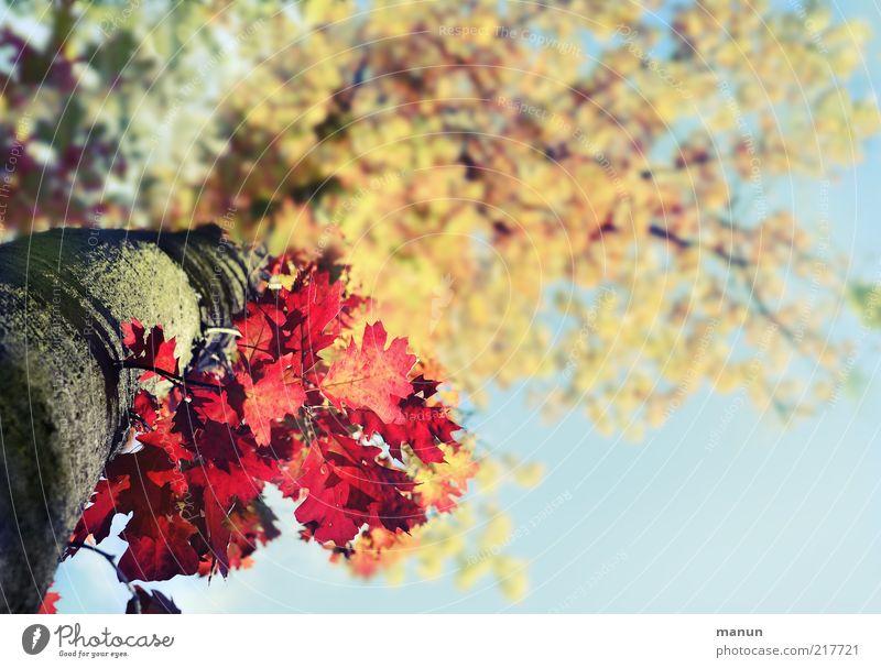 Herbstfarben Natur schön Baum Blatt oben Umwelt frisch Wandel & Veränderung einzigartig natürlich außergewöhnlich Baumstamm Schönes Wetter Blauer Himmel