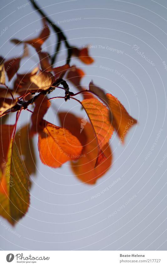 Für Dich soll's rotes Herbstlaub regnen schön Baum Sonne blau Leben Stimmung gold Vergänglichkeit natürlich genießen Schönes Wetter Blauer Himmel Blattadern