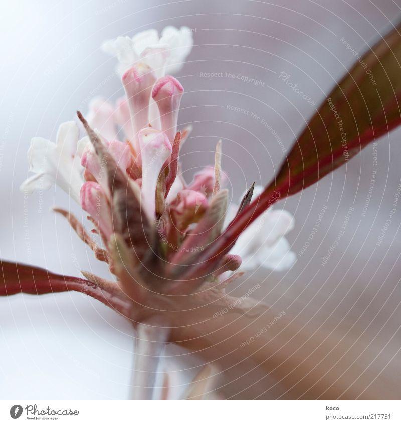 Verwirrtes Blümchen Natur schön Blume Pflanze Blatt Blüte Frühling grau braun rosa elegant frisch ästhetisch Wachstum rein Blühend