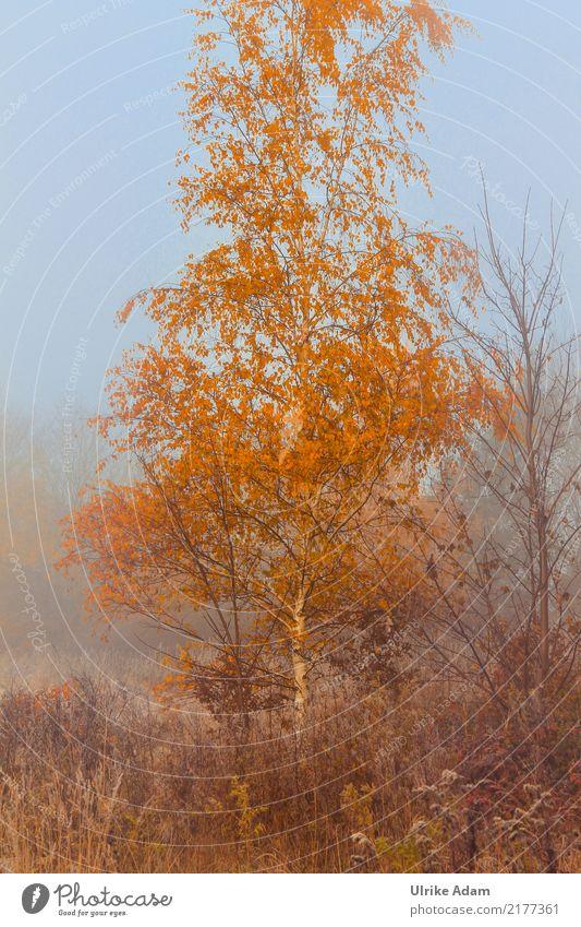 Birke im Herbstnebel Natur Pflanze blau Baum Blatt Umwelt braun orange Nebel Feld Tapete Dunst Herbstlaub mystisch Sumpf