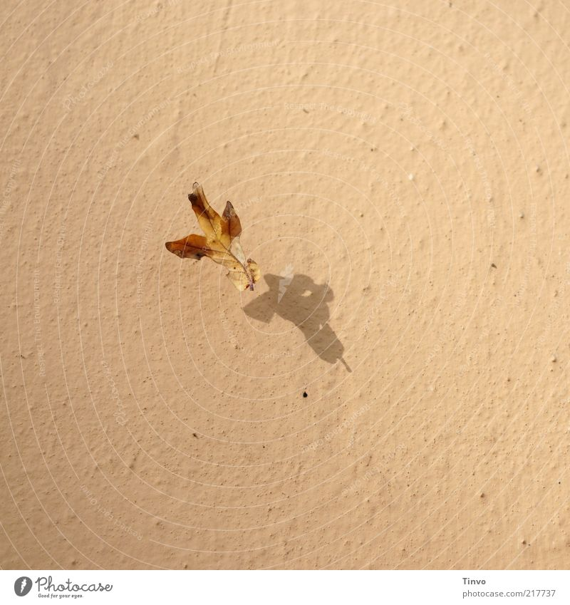 grimmiger Herbst Blatt Wand Mauer fliegen Fassade fallen trocken einzeln Herbstlaub Schattenspiel dehydrieren Ocker Putzfassade