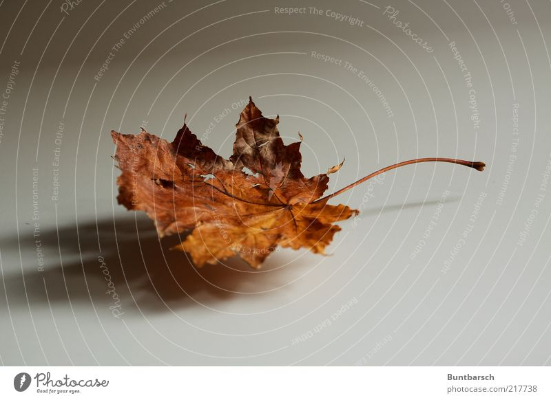 wingardium leviosa Natur Pflanze Herbst Blatt Herbstlaub Herbstfärbung herbstlich Ahornblatt alt ästhetisch natürlich trocken Farbfoto Gedeckte Farben
