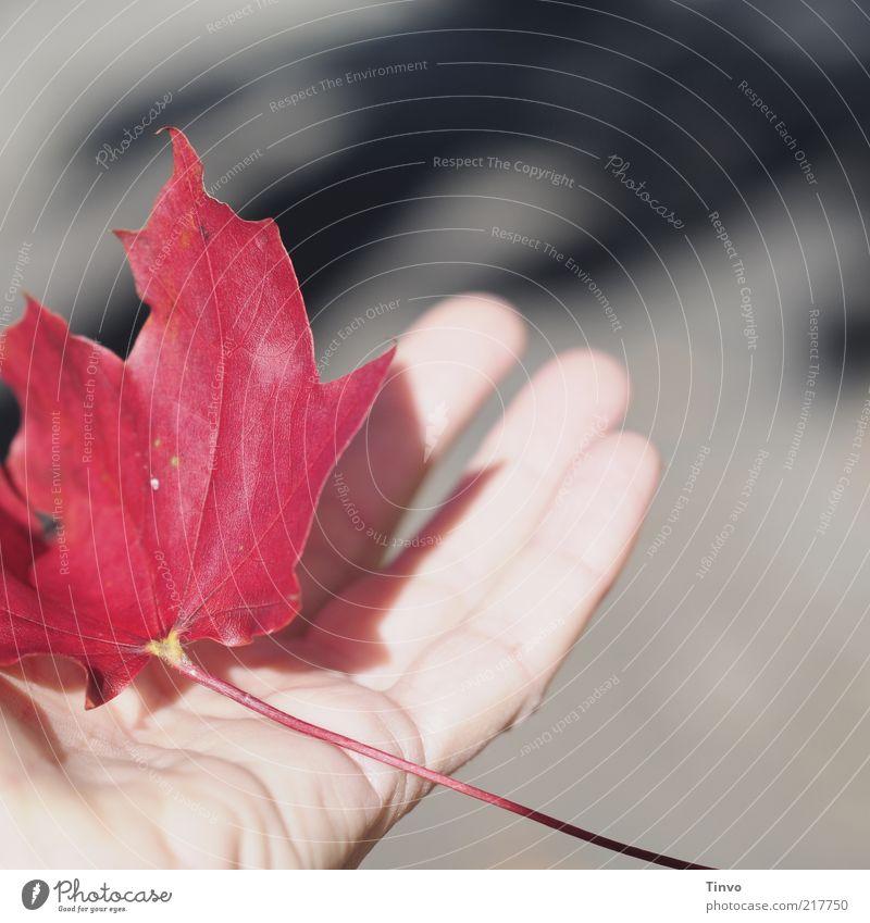 rotes Herbstblatt wird auf Hand gehalten Natur Sonne Blatt grau Haut Finger Hautfalten fangen berühren Stengel leicht tragen Mensch