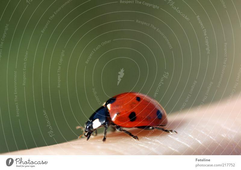 Viel Glück! (oh 350) Mensch Haut Finger Umwelt Natur Tier Sommer Wildtier Käfer hell nah natürlich grün rot schwarz weiß Marienkäfer krabbeln Glücksbringer