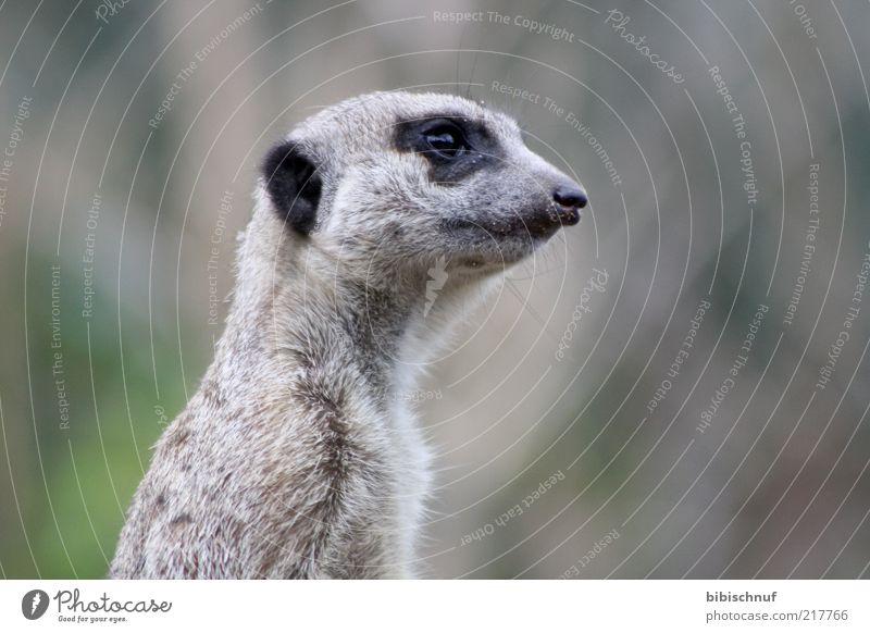 Erdmännchen im Detail Tier Wildtier Tiergesicht 1 sitzen Farbfoto Außenaufnahme Tag Tierporträt Profil Blick Auge Nase Schnauze Fell Menschenleer