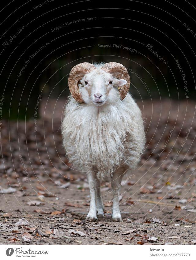 Ich bin sooo einsam Tier Einsamkeit Fell Horn Schaf Wolle Nutztier Huf Paarhufer Heidschnucke