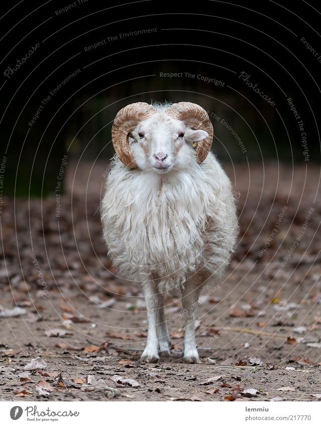 Ich bin sooo einsam Tier Nutztier 1 Blick Schaf Heidschnucke Fell Horn Einsamkeit Wolle Farbfoto Gedeckte Farben Außenaufnahme Textfreiraum oben Tag