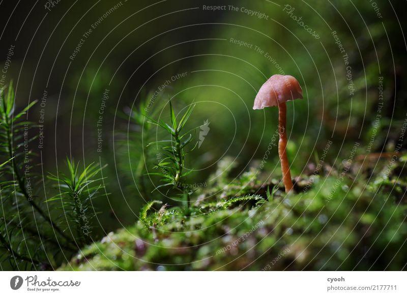Pilz im Moos Natur Landschaft Pflanze Erde Herbst Wald Wachstum klein rosa einzigartig Idylle Perspektive Verfall Zeit winzig krumm Waldboden herbstlich