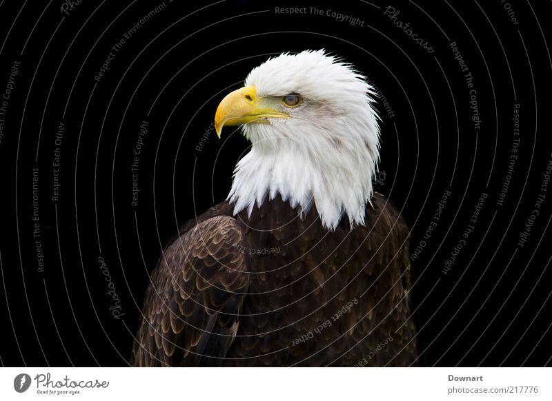 Mr. Bald Eagle Glatze Vogel dunkel schwarz weiß Adler groß von Beute Jäger Raubtier mit Kopf Nahaufnahme Menschenleer Freisteller Hintergrund neutral Tag Blick