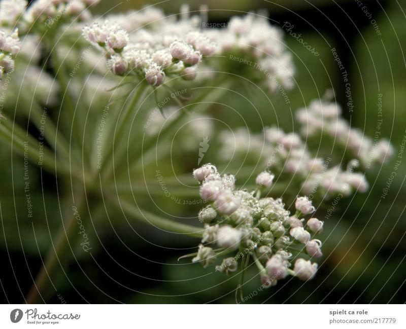 Morgentau Natur weiß Blume grün Pflanze ruhig Leben Herbst Blüte Wassertropfen frisch Hoffnung Stengel Blühend leuchten Duft