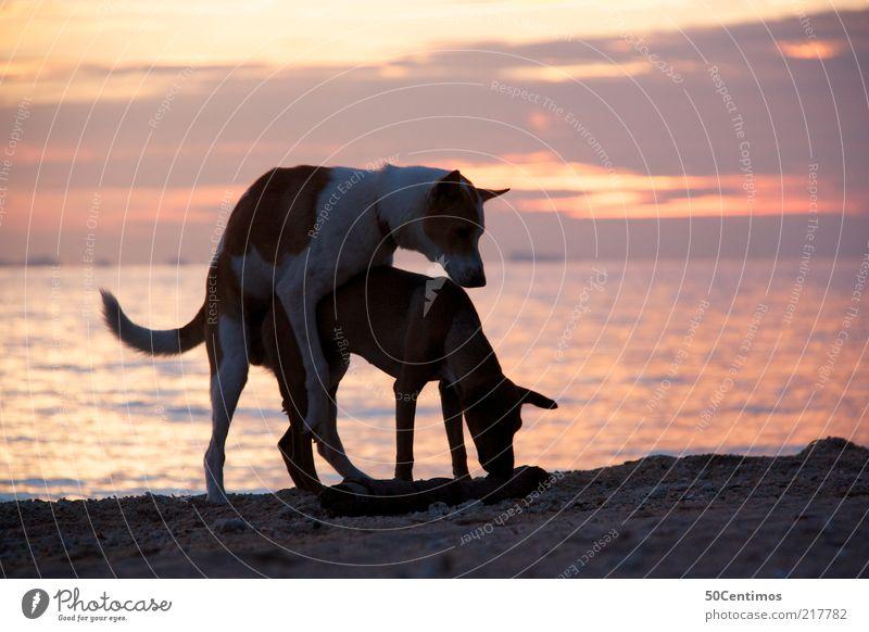 Sex on the beach - Hunde am Strand bei Sonnenuntergang Himmel Wasser Ferien & Urlaub & Reisen Meer Freude Tier Leben Gefühle Glück Sand Küste Stimmung Tierpaar