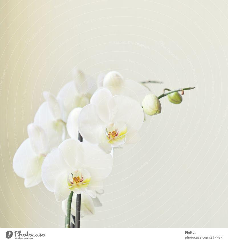 Mädchen-Foto die Zweite Natur Pflanze Blume Blüte Topfpflanze exotisch Wachstum ästhetisch elegant schön positiv grün weiß Frühlingsgefühle Warmherzigkeit