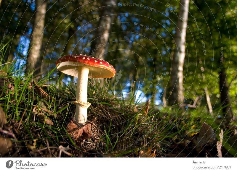 Im großen Wald Himmel Natur grün Baum rot Blatt Herbst Umwelt Gras Linie Erde Wachstum stehen Urelemente leuchten