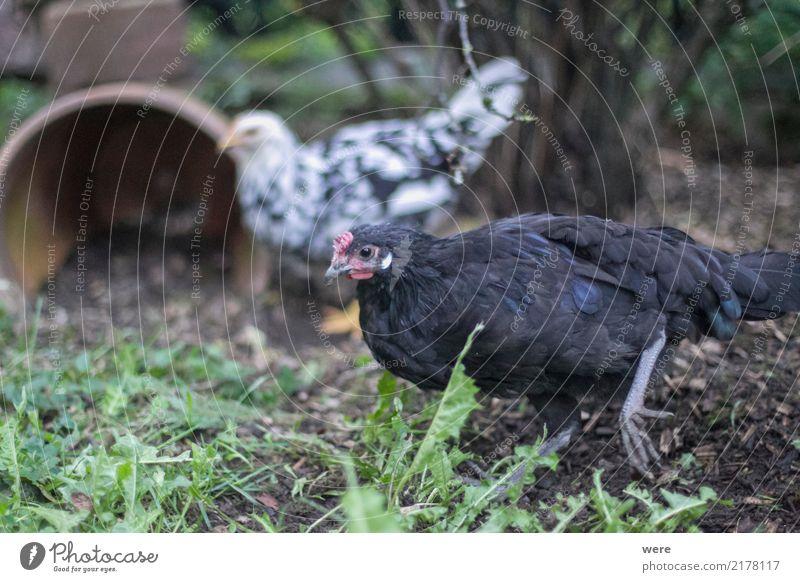Caruso, Junghahn, ledig Lebensmittel Landwirtschaft Forstwirtschaft Natur Tier Nutztier Vogel Bewegung Fressen sportlich Umweltschutz Artenschutz