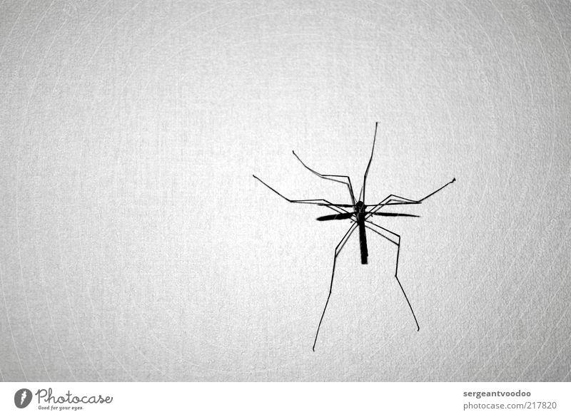 Spiderman light Natur weiß ruhig schwarz Tier Bewegung Beine Angst warten klein Umwelt nah bedrohlich dünn beobachten wild