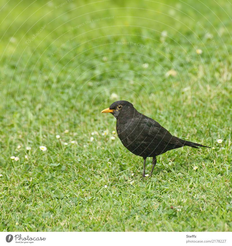 Amsel Männchen Amselmännchen Vogel Vogelbeobachtung Singvögel Rasen Drossel Vogel im Gras beobachten Blick stehen grün schwarzer Vogel Vögel futtern begegnen
