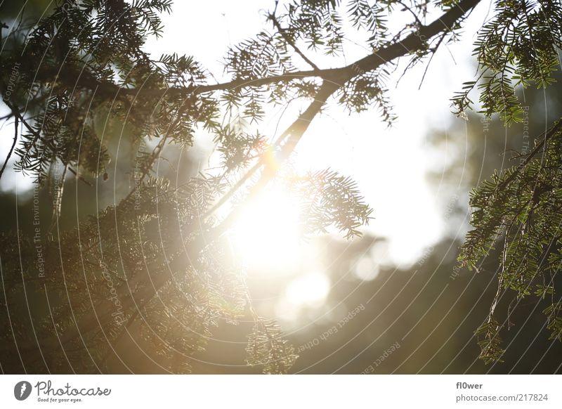 ZWEIGNADELNSONNE Sonne Natur Himmel Blatt Grünpflanze Wald dunkel hell stark gelb grün Stimmung Ast blenden Zweig Sonnenuntergang Zweige u. Äste Tannennadel