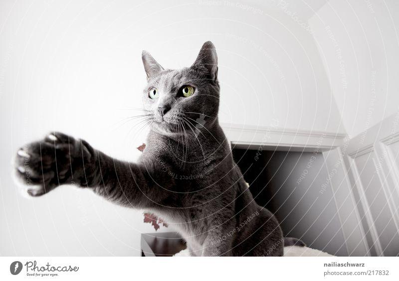 Katzentatze Tier Haustier kurzhaarig 1 Bewegung hocken russisch blau Farbfoto Innenaufnahme Nahaufnahme Detailaufnahme Schwache Tiefenschärfe Tierporträt