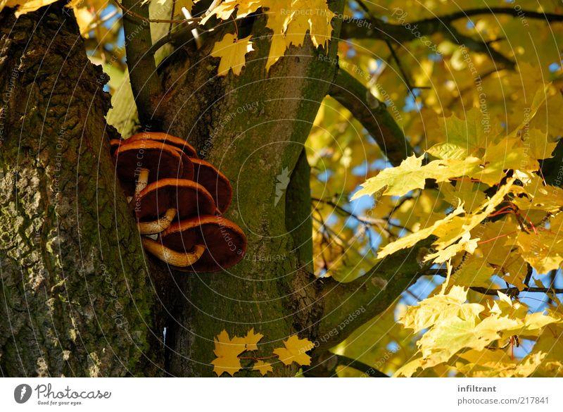Baumpilze im Herbst Natur Pflanze ruhig schwarz gelb Leben braun gold ästhetisch natürlich Pilz Schönes Wetter Blauer Himmel Baumrinde