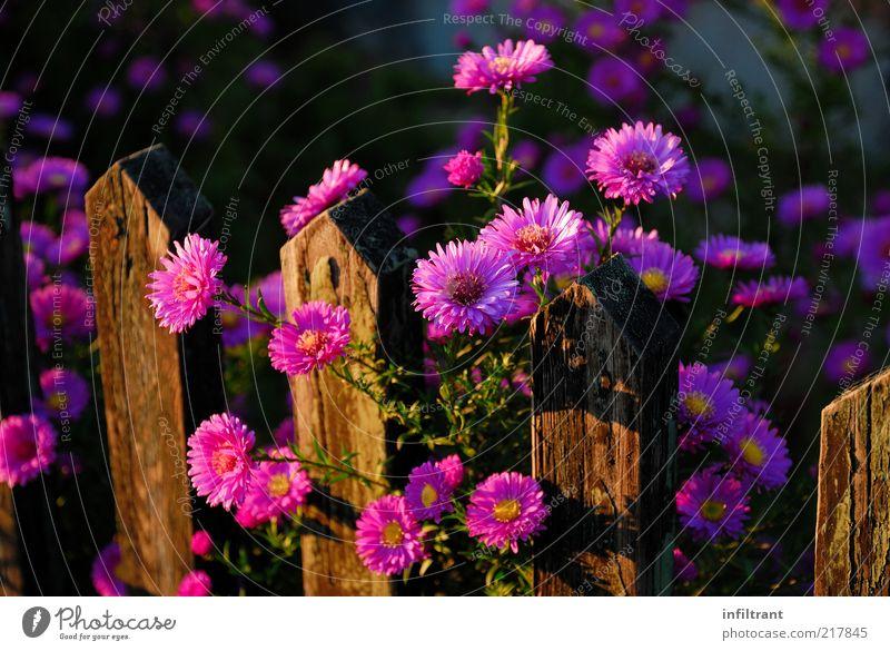 Herbstblumen am Gartenzaun Natur schön Pflanze Sommer Blume ruhig Farbe Leben Blüte Holz braun rosa ästhetisch Wachstum natürlich