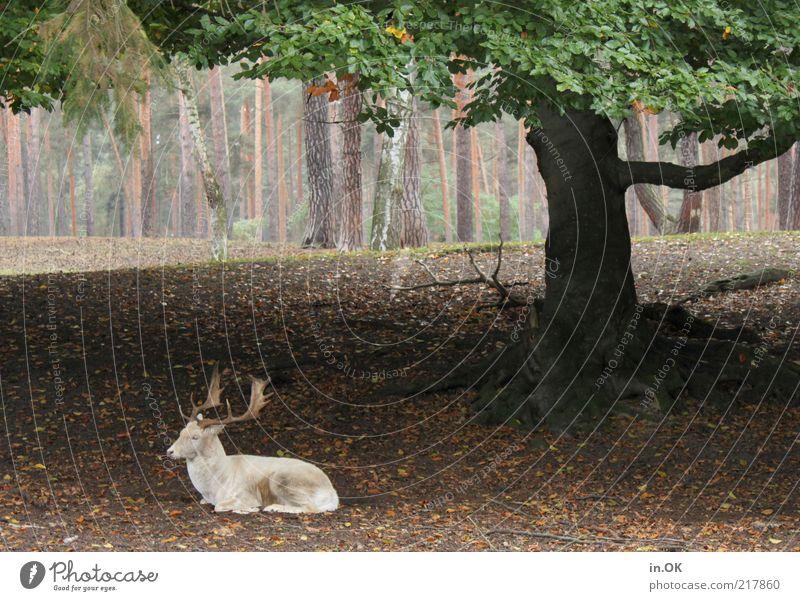 Baumschattenplatz Natur weiß grün ruhig Tier Wald Erholung Herbst Zufriedenheit maskulin Umwelt liegen außergewöhnlich Gelassenheit Wildtier