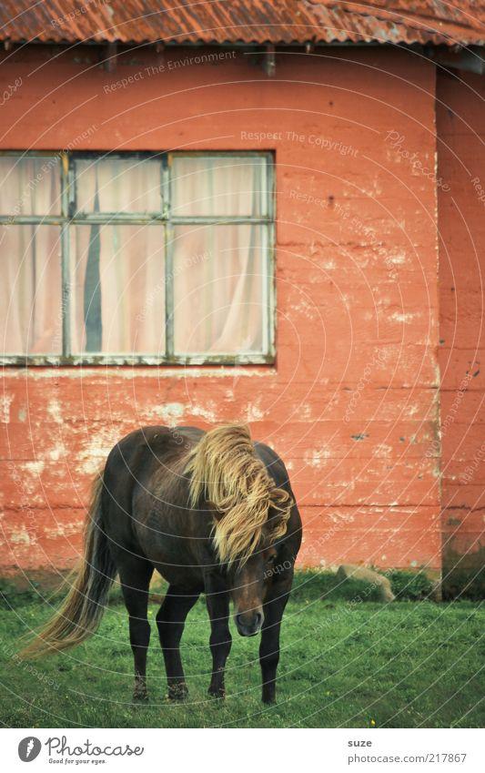 Hauspferd alt grün schön rot Tier Fenster Wiese Wand außergewöhnlich Fassade Wind Häusliches Leben Pferd Haustier Island