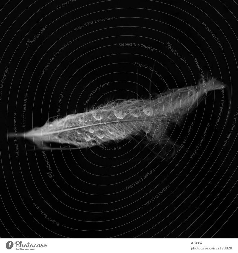 Zarte Schwanenfeder mit Wassertropfen vor schwarzem Hintergrund Feder Flüssigkeit glänzend nass natürlich weich weiß Traurigkeit Sorge Trauer Tod ästhetisch