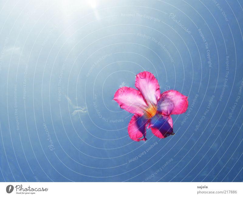 schwebende blüte Natur Pflanze Urelemente Wasser Himmel Sonne Sommer Blume Blüte blau rosa Schweben Farbfoto Außenaufnahme Unterwasseraufnahme Menschenleer