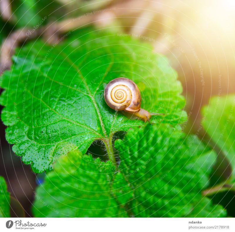 kleine Schnecke auf einem grünen Blatt Sommer Garten Natur Pflanze Tier Riesenglanzschnecke Insekt sonnig langsam Farbfoto Nahaufnahme Menschenleer Tag