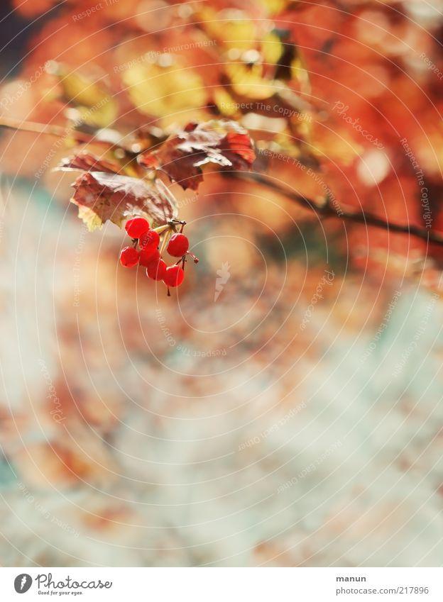 rote Beeren Frucht Umwelt Natur Herbst Pflanze Baum Sträucher Beerensträucher Beerenfruchtstand Herbstlaub herbstlich Herbstbeginn Herbstfärbung hell schön Gift