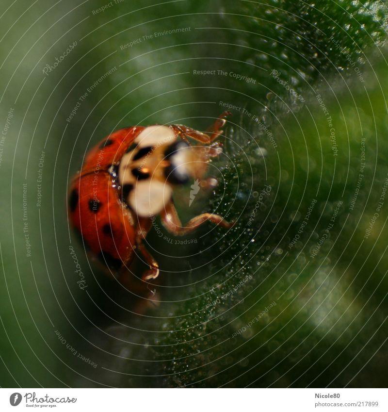 Mariechen ganz nah Natur Tier Käfer 1 grün rot Marienkäfer krabbeln Insekt Farbfoto Innenaufnahme Makroaufnahme Textfreiraum rechts Textfreiraum oben