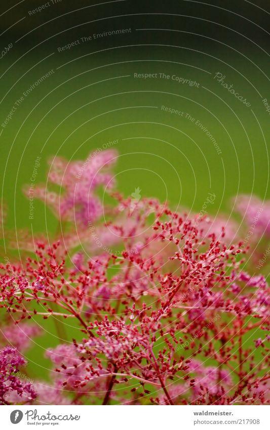 Blumen Natur Pflanze Blühend Wachstum grün rosa schwarz Optimismus ästhetisch Spiegellinsenobjektiv (Effekt) zart filigran Farbfoto mehrfarbig Außenaufnahme