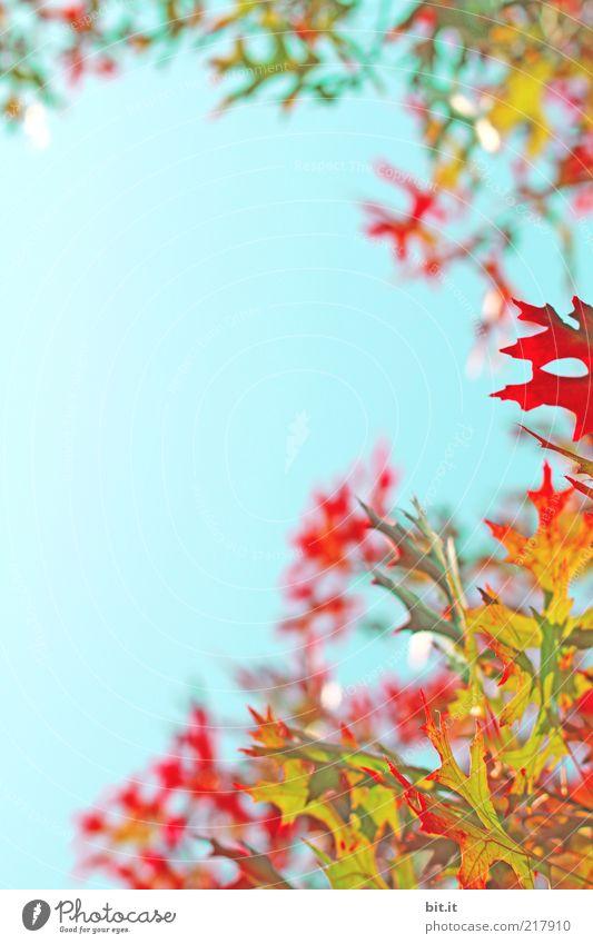 bunt gehts zu Natur Pflanze Himmel Wolkenloser Himmel Herbst Klima Wetter Blatt blau mehrfarbig gelb gold rot Herbstlaub herbstlich Ahorn Ahornblatt