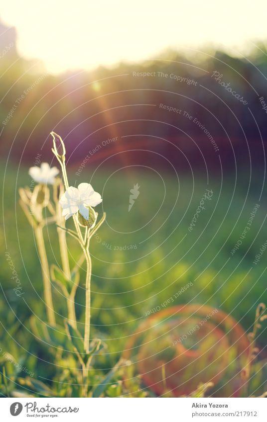[60] So here we are Natur Pflanze Sonne Sonnenaufgang Sonnenuntergang Frühling Sommer Schönes Wetter Blume Gras Feld Blühend leuchten stehen Wachstum ästhetisch