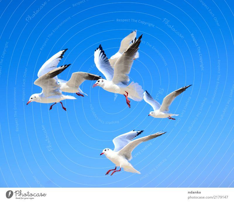 Schwarm weißer Möwen Freiheit Sommer Meer Natur Tier Himmel Vogel Bewegung fliegen frei blau Raum Air Feder Etage schweben Tierwelt Farbfoto Menschenleer Tag
