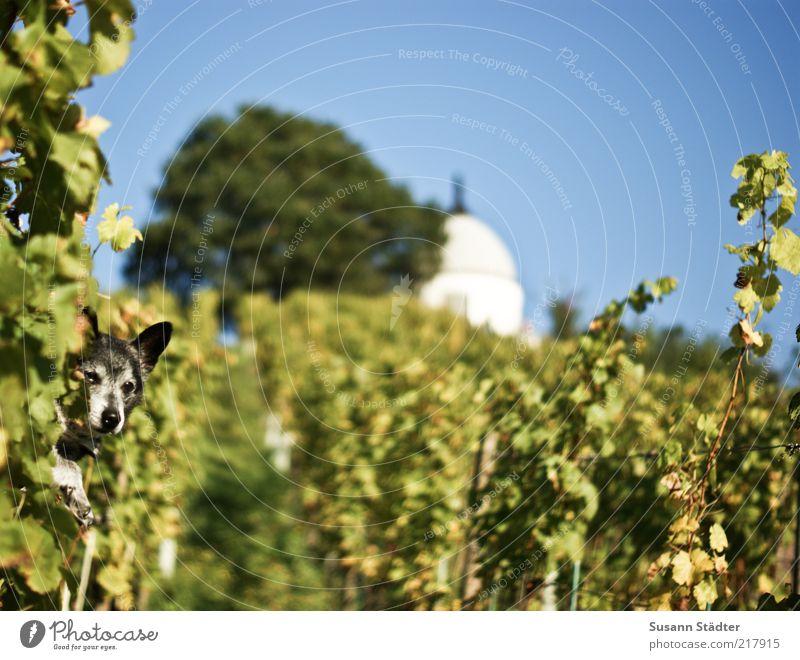 Blattlaus Schönes Wetter Feld Hügel Haustier Wachstum Weinbau Schloss Wackerbarth Hund Weinblatt Baum Herbst mehrfarbig Wolkenloser Himmel Weinberg