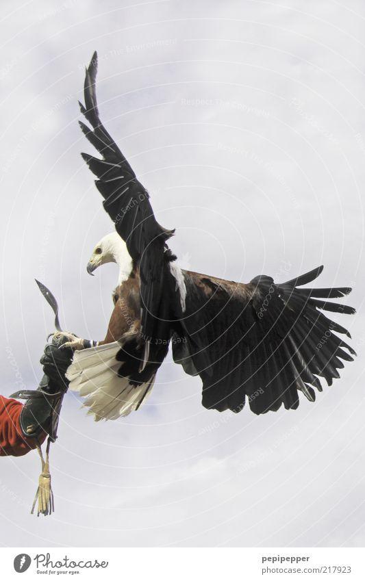 soft landing Arme 1 Mensch Luft Himmel Wolken Wetter Handschuhe Wildtier Vogel Tiergesicht Flügel Krallen fliegen füttern Jagd ästhetisch elegant