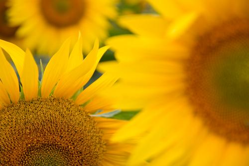 Sonnenblumen Blume Korbblütengewächs Blütenblatt Sonnenblumenfeld Feld Natur natürlich Sommer Herbst Blühend Pflanze Blatt grün orange gelb mehrfarbig