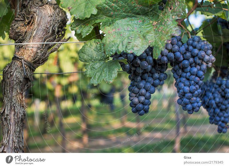 Reif für Mund und Presse Natur Pflanze blau grün Landschaft rot Herbst Lebensmittel Feste & Feiern braun Frucht Ernährung Lebensfreude einzigartig Klima rund