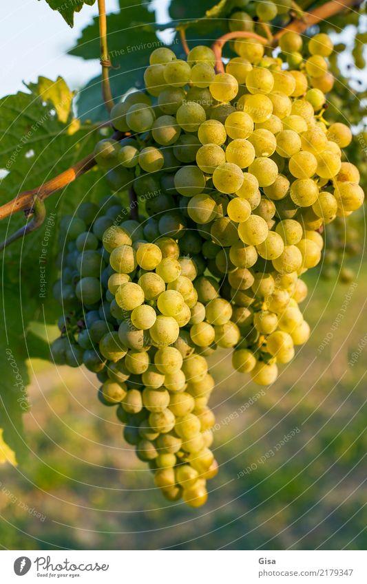 Reif für Mund und Presse Lebensmittel Frucht Weintrauben Ernährung Getränk Ferien & Urlaub & Reisen Sommer Erntedankfest Natur Landschaft Pflanze Herbst Klima