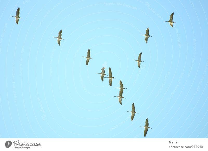 Winterreise Natur Himmel blau Winter Tier Herbst Bewegung Freiheit Luft Zusammensein Vogel fliegen frei Tiergruppe Klima Sehnsucht