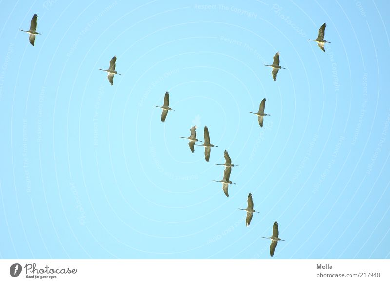 Winterreise Natur Tier Luft Himmel Herbst Wildtier Vogel Kranich Tiergruppe Schwarm fliegen frei Zusammensein blau Sehnsucht Bewegung Freiheit Klima Zugvogel