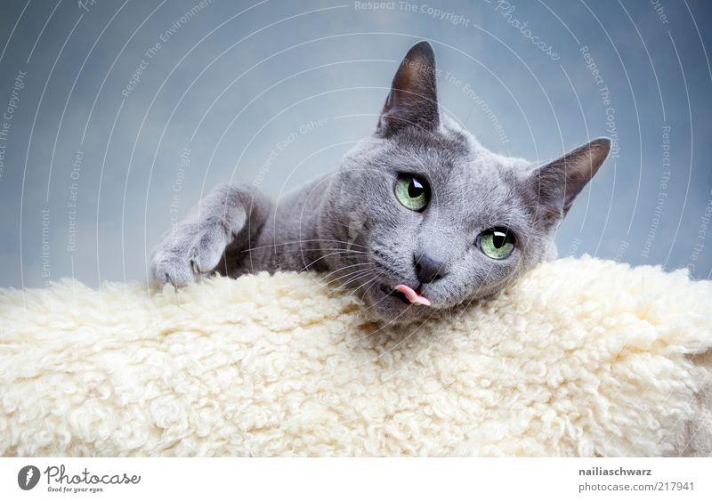 Katzenblick Tier Haustier 1 liegen ästhetisch lustig nah blau grau silber weiß Zunge Farbfoto Gedeckte Farben Innenaufnahme Nahaufnahme Schwache Tiefenschärfe