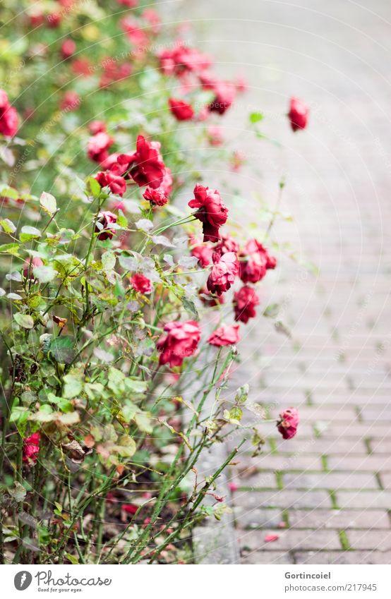 Verblüht Pflanze Herbst Blume Rose Blüte herbstlich Rosengarten Blumenbeet verblüht Rosenbeet Farbfoto Außenaufnahme Muster Strukturen & Formen