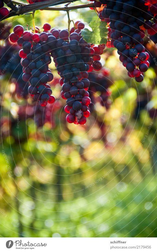 Spätburgunder am Stock, hängend Natur Pflanze Herbst Nutzpflanze gelb grün rot Wein Rotwein Weintrauben Weinberg Weinbau Weinlese Weingut Ernte Herbstfärbung