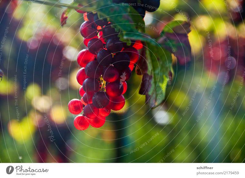 Burgunder am Stock III Wein Pflanze Sonnenlicht Herbst Nutzpflanze süß rot Weinberg Weintrauben Weinbau Weinlese Rotwein Lampe leuchtende Farben Weinblatt